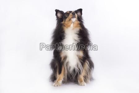 shetland sheepdog isolated