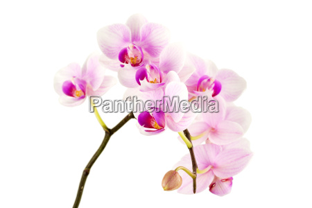 orchid against white background