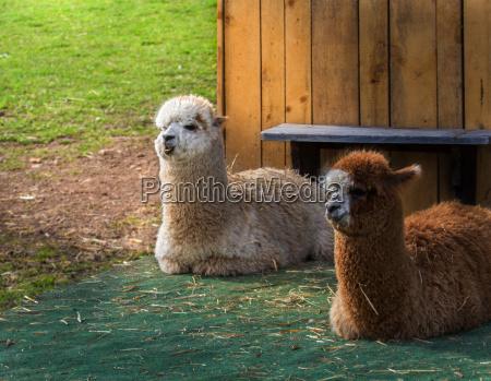 alpaca duo