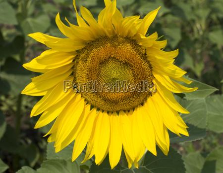 bright flower of sunflower close up
