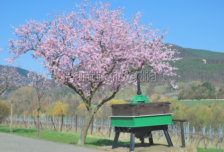 almond blossom in the pfalz near