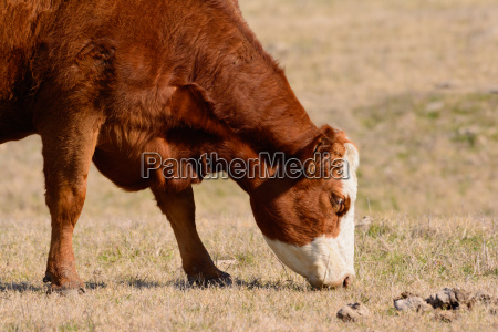 hereford cow grazing with head down