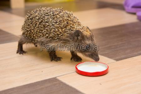 hedgehog climbed into the house and