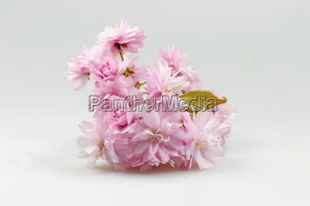 blossoming pink cherry twig