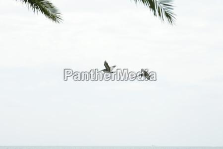 brown pelicans pelecanus occidentalis in flight