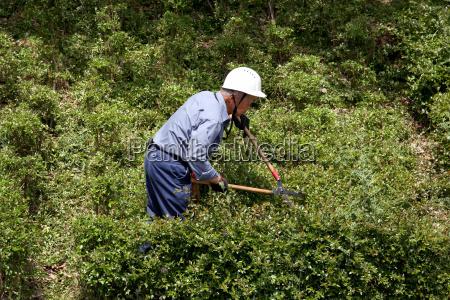 japanese gardener pruning a shrub tree