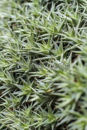 deuterocohnia brevifolia close up