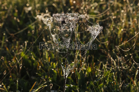 germania web ragno sulla pianta nella