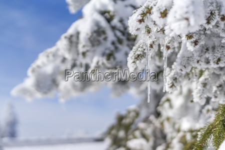 snow covered twig of fir tree