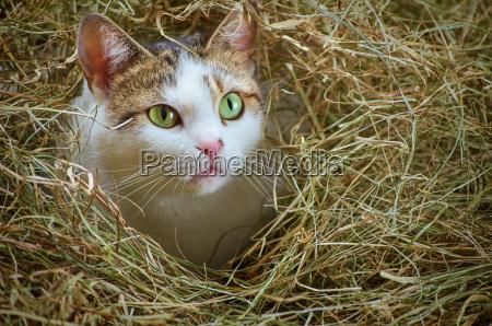 cat in the hay