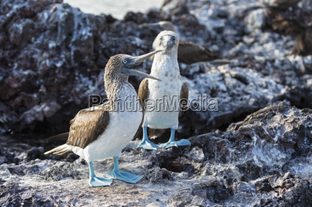 ecuador galapagos islands isabela two blue