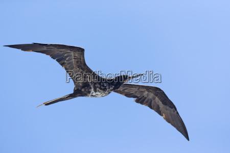 ecuador galapagos islands isabela flying female