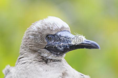ecuador galapagos genovesa red footed booby