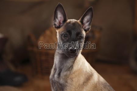 belgian malinois puppy portait