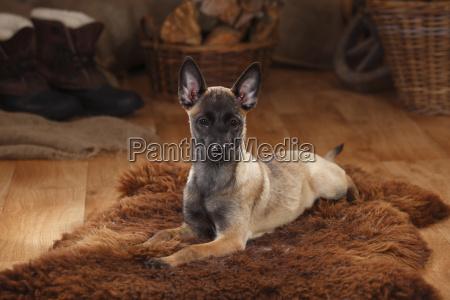 belgian malinois puppy lying on fur