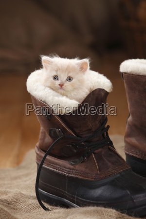 british longhair cat kitten cream 7