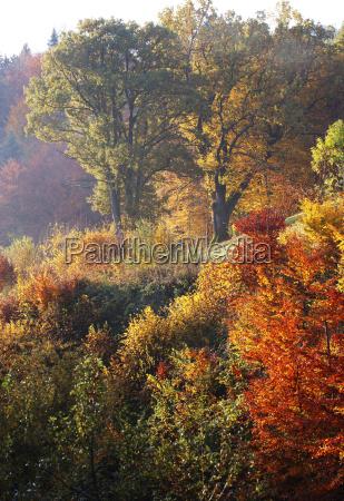 austria salzkammergut mondsee oak trees in
