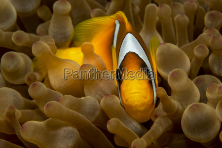 egypt red sea red sea anemonefish