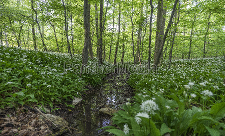 germany wolfenbuettel blossoming ramson at elm