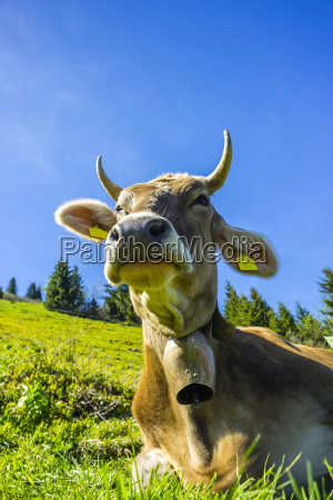 germany bavaria allgaeu cattle dairy cow