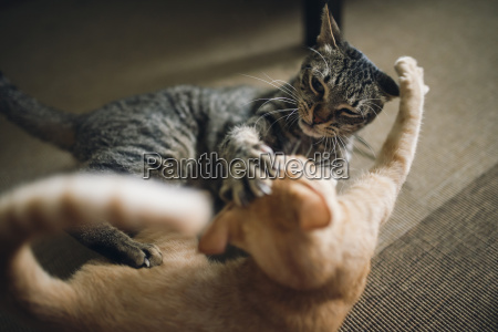 two tabby cats play fighting in