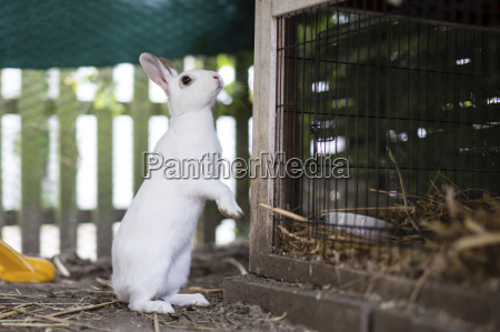 white rabbit stable