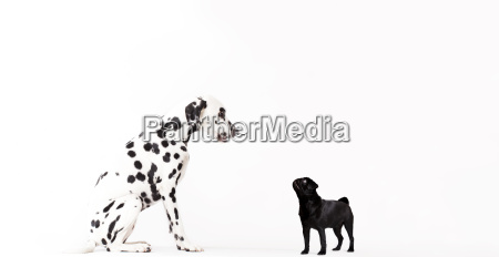dogs looking at each other