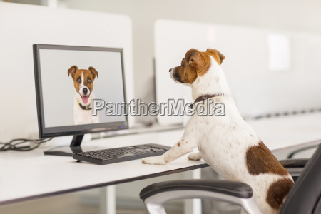 dog standing at desk in office