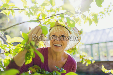 smiling senior woman picking apple from