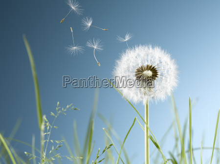 close up of dandelion plant blowing