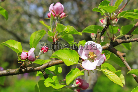 buds of blossoming apple tree