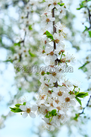 blooming cherry plum with white flowers