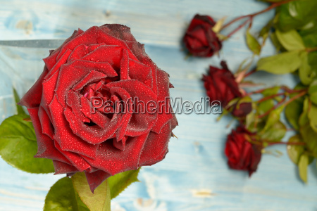 red roses on a flat layer