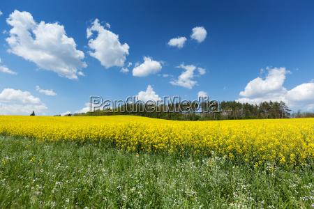 blooming, rape, field - 17318530