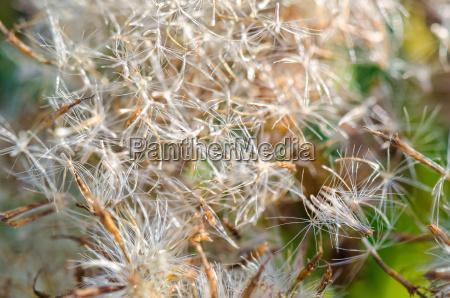 closeup grass seed