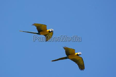 yellow breasted macaw ara ararauna