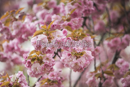 blossoming almond tree close up