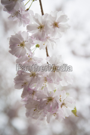 blossoms of almond tree close up