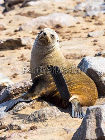 namibia cape cross cape fur seal