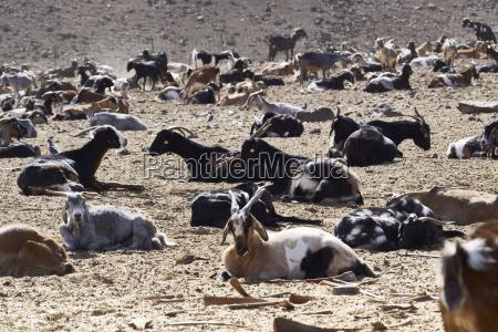 fuerteventura goat herd
