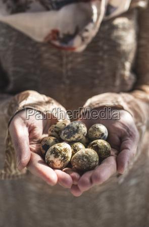 womans hands holding quail eggs close