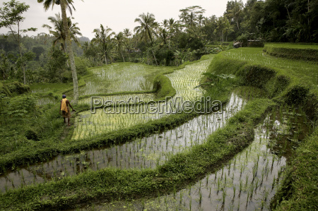indonesia bali landscape with rice field