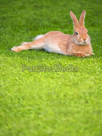 lazy rabbit lying on a meadow