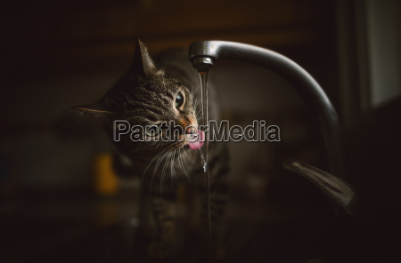 portrait of tabby cat drinking water