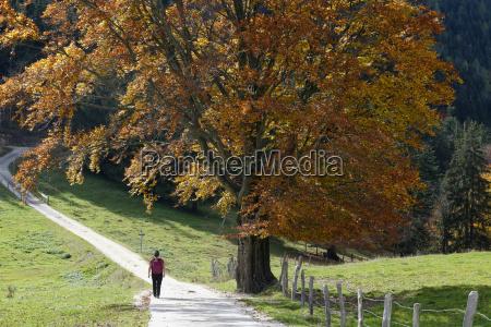 hiker in front of beech tree
