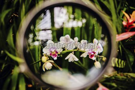 orchid tracheophyta orchidaceae phalaenopsis through a