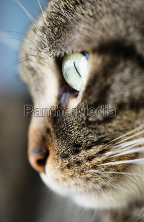 face of tabby cat close up