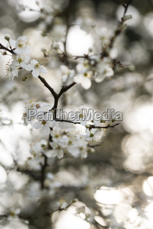 twig of blossoming cherry plum tree