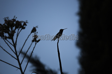 usa sacramento silhouette of a hummingbird