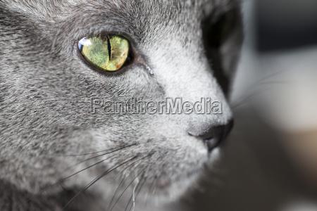 face of grey cat close up